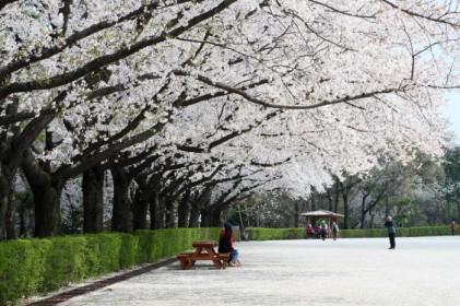 서울대공원 벚꽃축제 2018