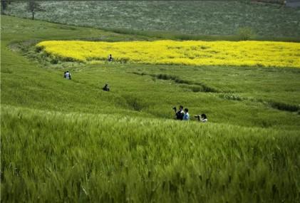 농협 안성팜랜드, 안성 호밀밭 축제 열려…유채꽃 감상도 가능