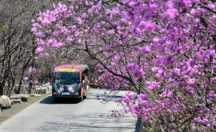 비슬산 참꽃문화제 2018