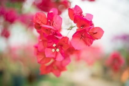 한림공원 부겐빌레아 꽃축제 2018
