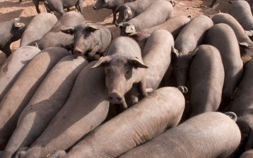 """""""사람보다 더 많은 돼지""""… 환경오염 우려 커지는 스페인"""