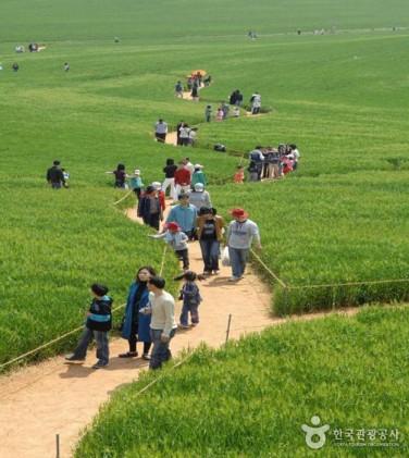 고창 청보리밭축제 2019