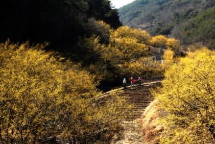 의성 산수유마을 꽃맞이행사 2019