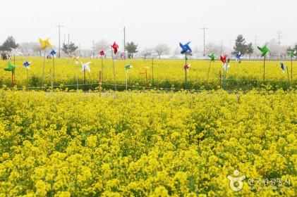 삼척 맹방유채꽃축제 2019