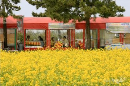 유채꽃과 함께하는 호미곶 돌문어 축제 2019
