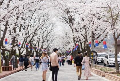 가평 에덴벚꽃길 벚꽃축제 2019