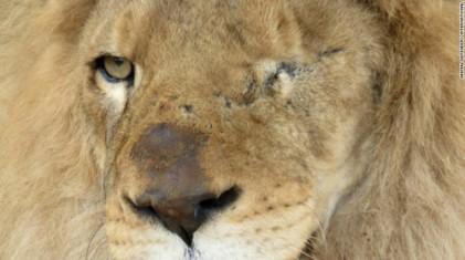 평생 인간의 즐거움 위해 학대 당한 사자들, 자유를 찾다