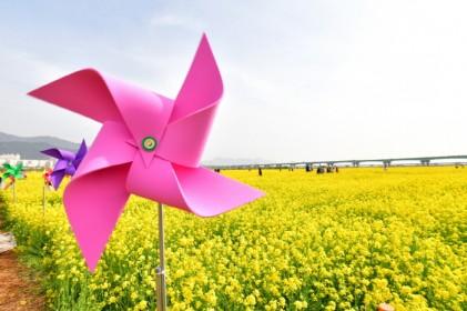 부산 낙동강 유채꽃 축제 2018