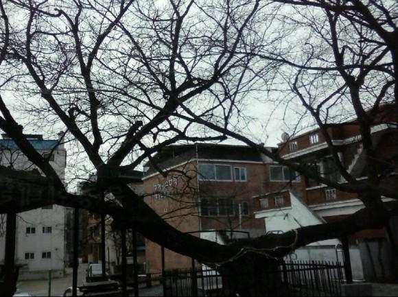 양지마느티나무